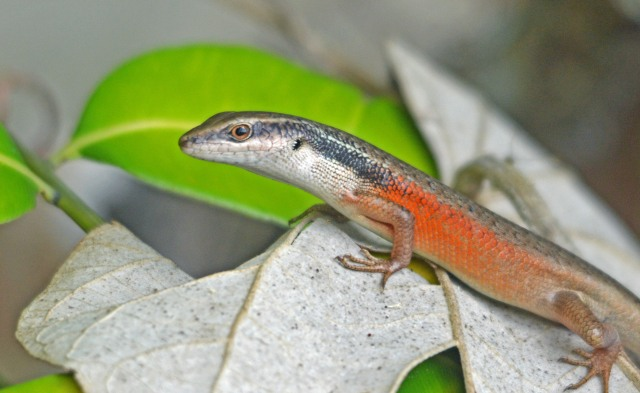 rain forest skink Carlia longipes. Photo: David Clode.