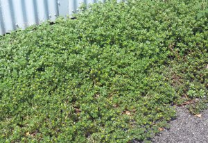 Portulaca oleraceae growing in harsh conditions (a carpark in the tropics).