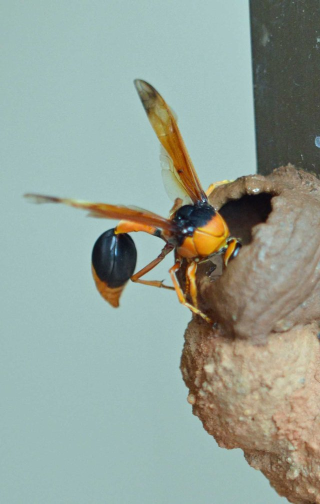 Orange Potter Wasp building a nest. Eumenes latreilli.