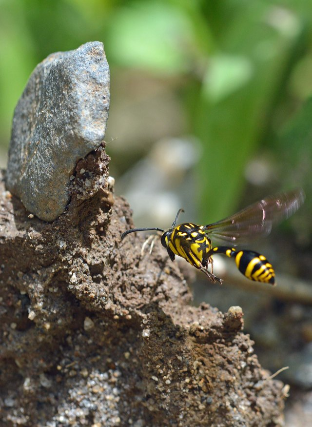 A potter wasp arrives to collect mud to make its nest. Photo: David Clode.