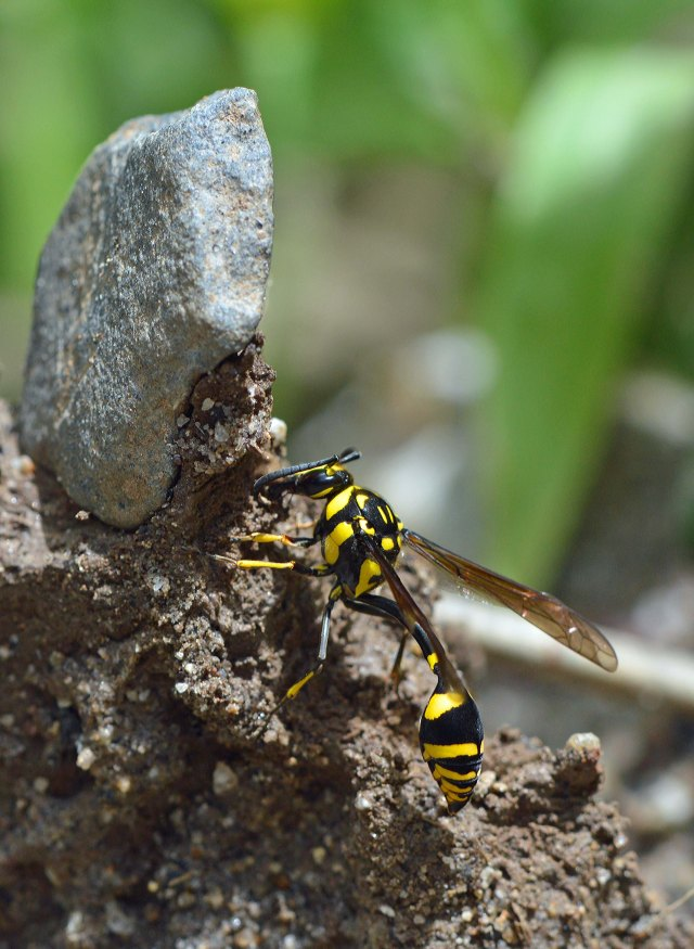 Potter wasp collecting mud to make a nest.