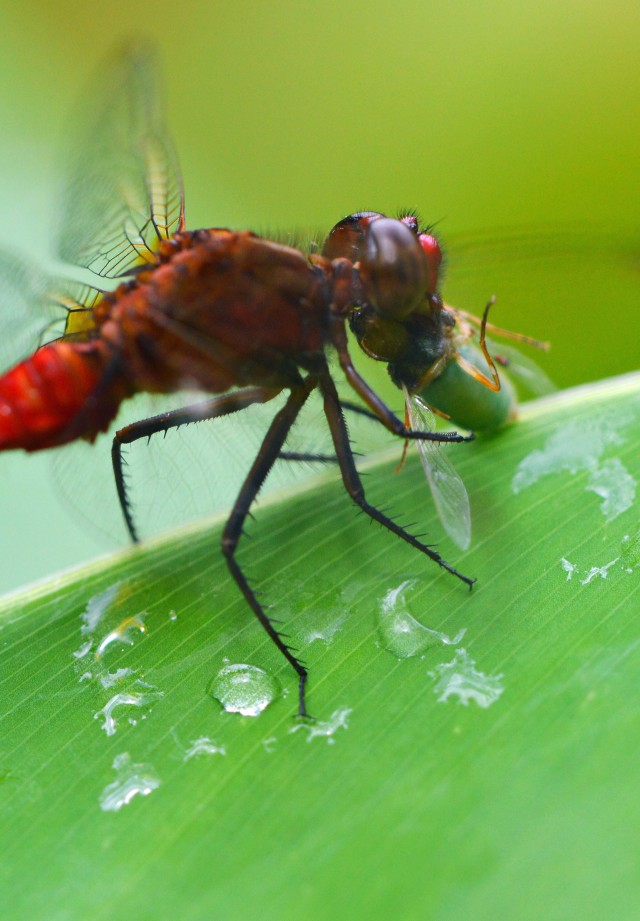 A dragonfly eating an insect it has caught. Photo: David Clode.