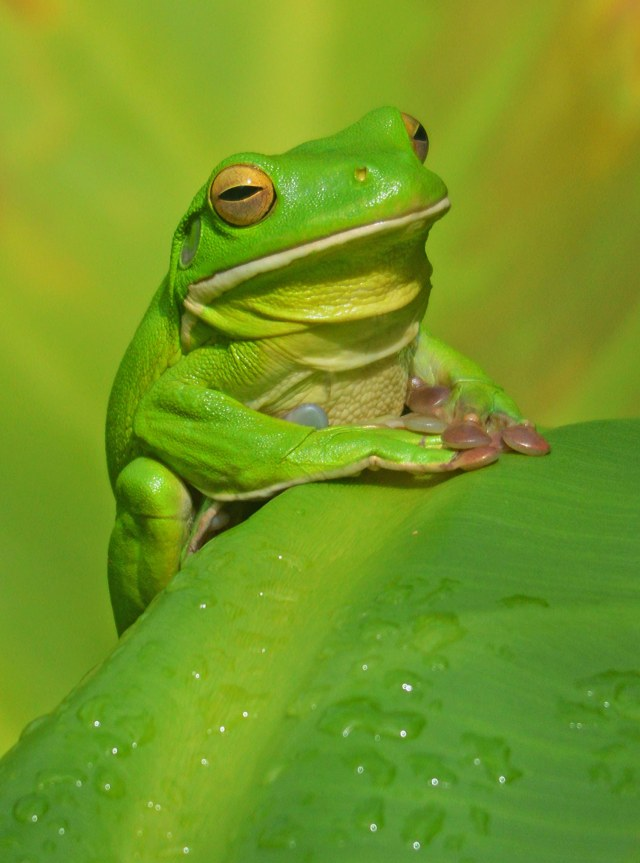 White-lipped tree frog Litoria infrafrenata. Photo: David Clode.
