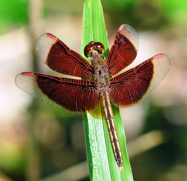 Painted Grasshawk dragonfly Neurothemis stigmatizans. Photo: David Clode.