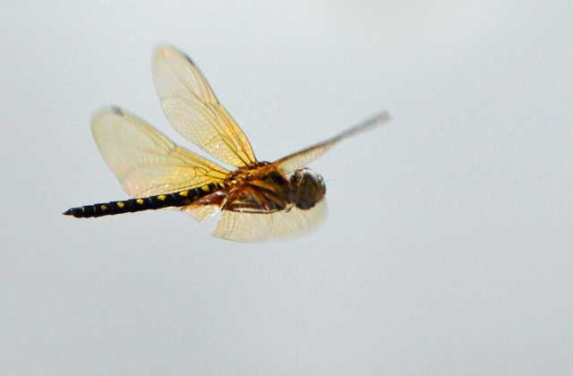 Dragonfly in flight, Freshwater lake, Cairns, Australia. Photo: David Clode.