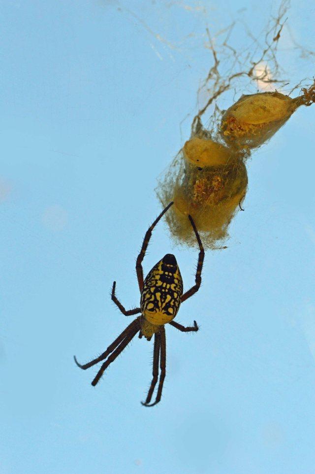 Tent Spider Cyrtophora moluccensis.