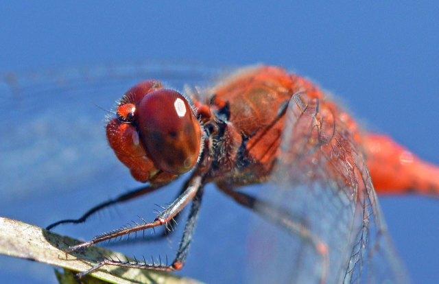 Diplacodes punctata dragonfly. Cairns. Photo: David Clode.