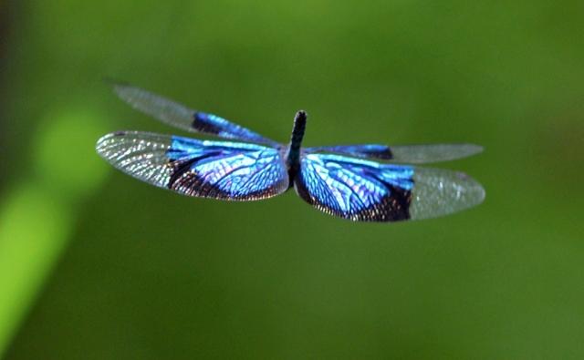 A fluttering Jewel Flutterer. Photo: David Clode.