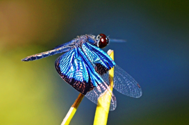 Rhyothemis resplendens Jewel Flutterer dragonfly. Cairns Bot gardens. Photo: David Clode.