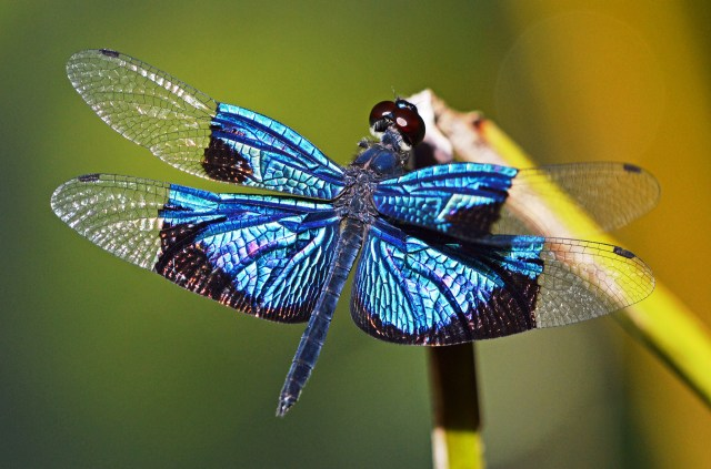 Jewel Flutterer dragonfly Rhyothemis resplendens. Cairns botanic gardens. Photo: David Clode.