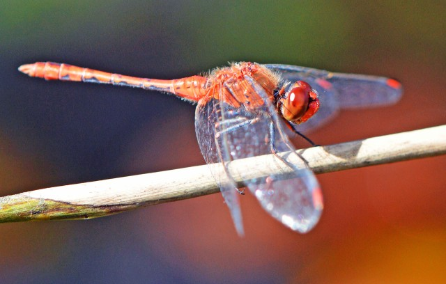 Diplacodes punctata dragonfly. Freshwater lake, Cairns, North Queensland. Photo: David Clode.