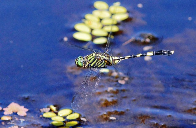 Austrogomphus prasinus. Freshwater lake, Cairns. Photo: David Clode.