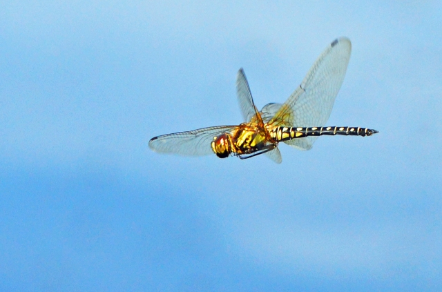 Flying dragonfly. Photo: David Clode.