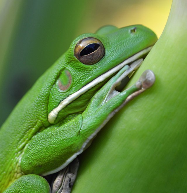 White-lipped tree frog Litoria infrafrenata (female, I think). Photo: David Clode.