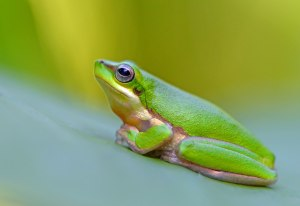 Northern Dwarf Tree frog Litoria bicolor. Photo: David Clode.