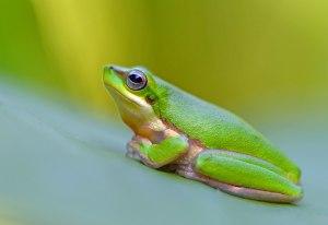Northern Dwarf Tree frog Litoria bicolor. Photo: David Clode.
