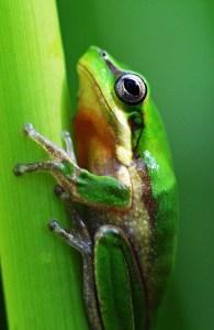 Northern Dwarf Tree frog Litooria bicolor. Photo: David Clode.