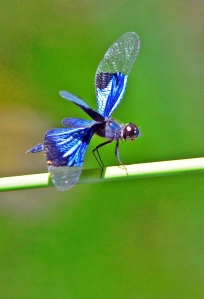 Jewel Flutterer dragonfly Rhythemis resplendens. Cairns botanic gardens. Photo: David Clode.