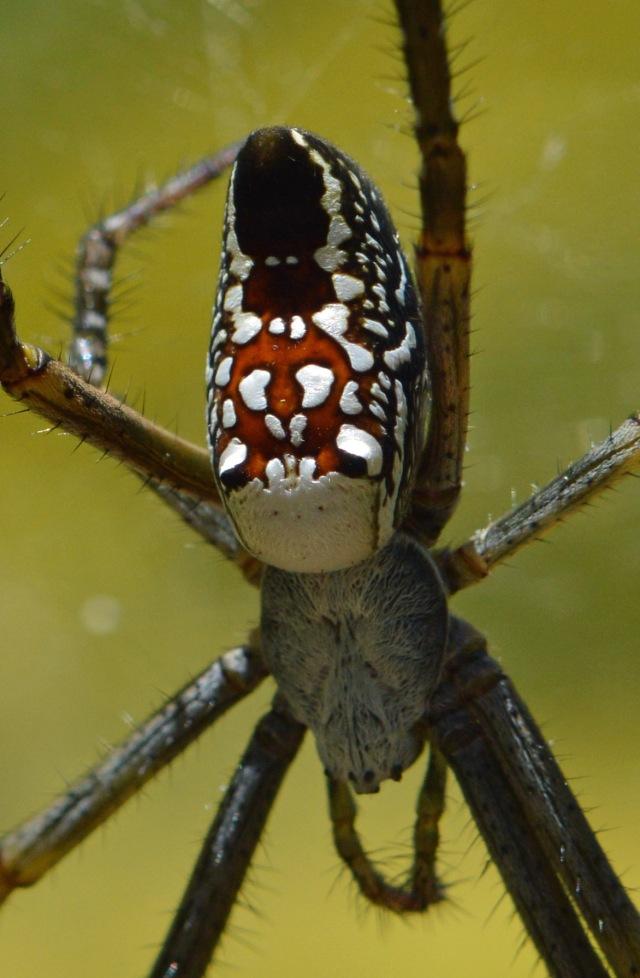 Tent spider.