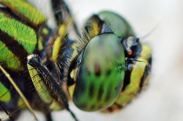 Macro photo of the eyes of the dragonfly Austrogomphus prasinus. Photo: David Clode.