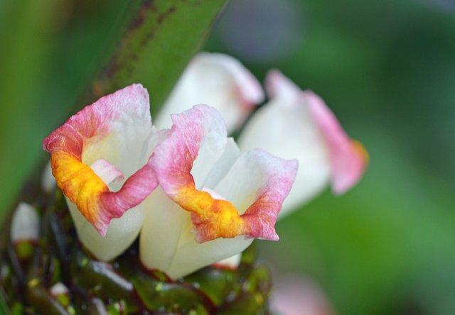 A flower in the ginger family. Cairns Botanic gardens.