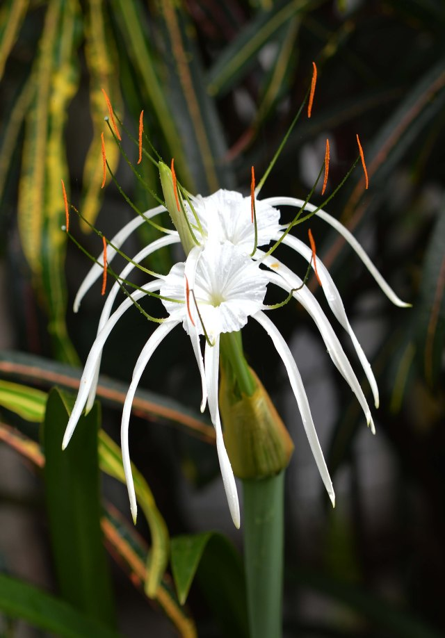 Spider lily Hymenocallis. Photo: David Clode.
