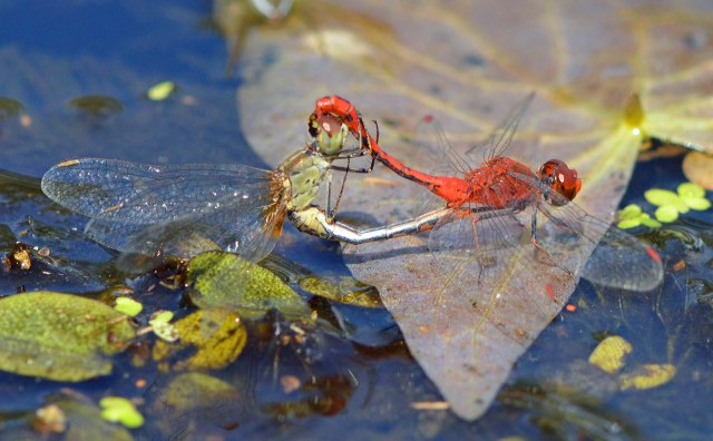 Mating dragonflies. Photo: David Clode.