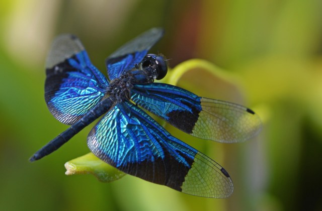 Rhyothemis resplendens. Photo: David Clode.