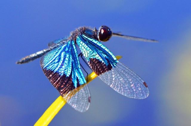 Jewel Flutterer dragonfly. photo: David Clode.