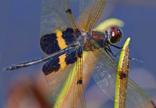 Yellow-sriped Flutterer. Photo: David Clode,