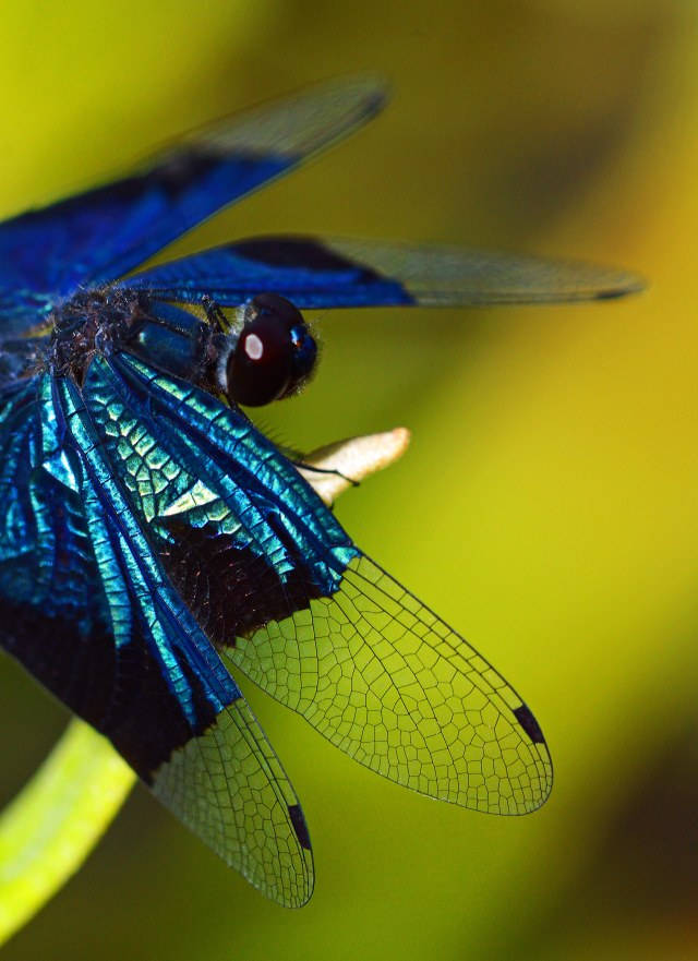 Jewel Flutterer Rhyothemis resplendens. Photo: David Clode.