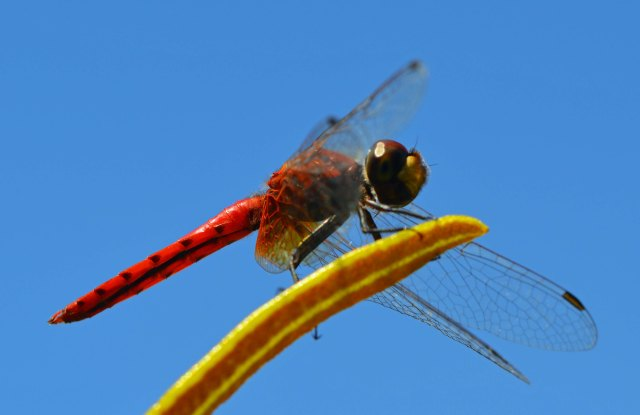 Red dragonfly. Photo: David Clode.