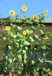 Sunflowers grown in a container in an upstairs flat in Cairns.