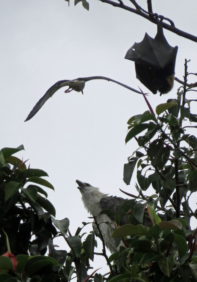 A spur-winged plover dive bombs a white-bellied sea eagle. The fruitbat at the top right is just trying to get some sleep. Outside Cairns library. Photo: David Clode.