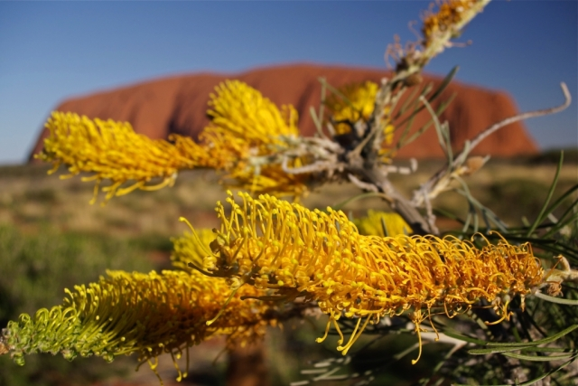 Grevillea eriostachya, with Ayer's Rock/Uluru in the background. Photo: Bryan Clode.