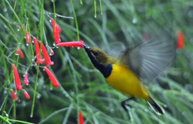"""Breakfast on a rainy day"". Yellow-bellied sunbird Nectarinia jugularis (also called Olive-backed Sunbird). Photo: David Clode."