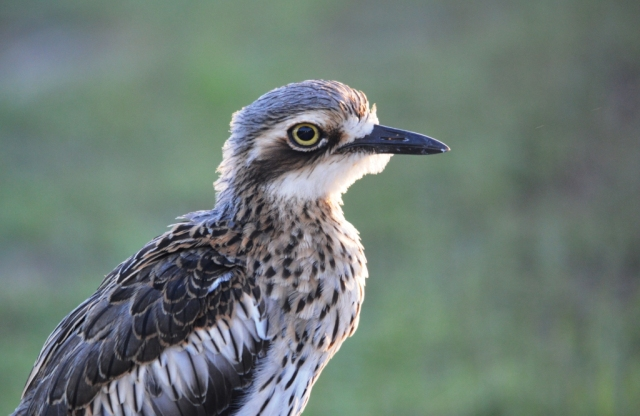 Bush Stone-curlew Burhinus grallarius. Photo: David Clode.