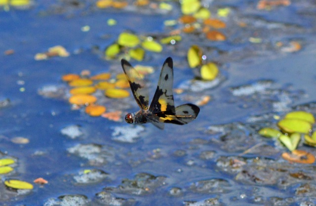 Rhyothemis in flight. Freshwater Lake, cairns, Australia. Photo: David Clode
