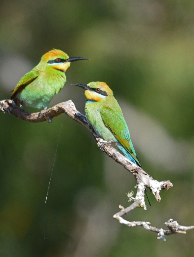 Rainbow Bee-eaters. cairns Cemetery. Photo: David Clode.