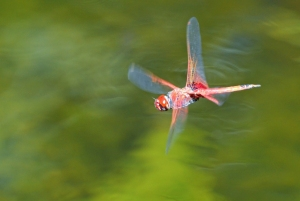 Trapezostigma loewii dragonfly flying across a pond in Cairns Australia. Photo: David Clode.
