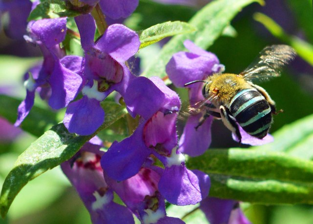 Blue-banded bee. photo: David Clode.