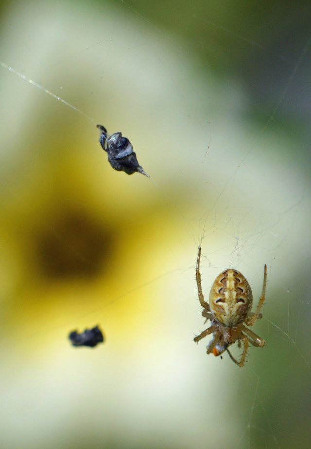 A spider has built its web naer some flowers, and is catching numerous native bees. Photo: Cairns, David Clode