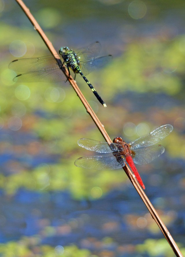 Austraogomphus prasinus and D. bipunctata sharing a perch put in place for them. Photo: David Clode, Freshwater Lake, Cairns.