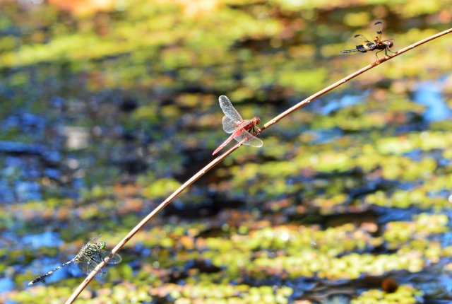 Three dragonfly species sharing an artificially placed perch. Austrogomphus prasinus, d, bipunctata and Rhyothemis phyllis. Photo: David Clode.
