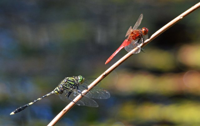 Diplacodes bipunctata and Austrogomphus prasinus sharing a perch. Photo: David Clode.