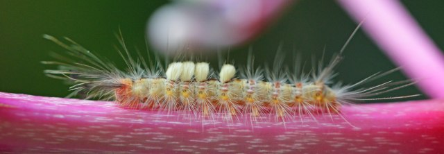 A hairy, and probably stinging, caterpillar. Cairns Botanic Gardens.