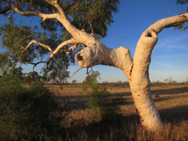 Ghost gum, Central Australia. Photo: Bryan clode.