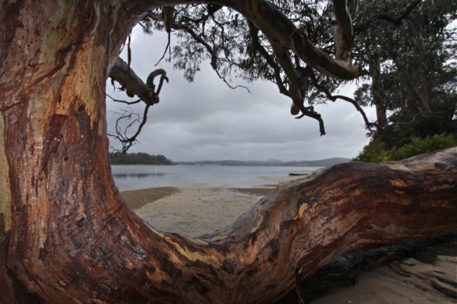 Eucalyptus tree, Tasmania. Photo: Bryan Clode.