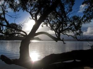 Eucalyptus tree. Photo: Bryan Clode.