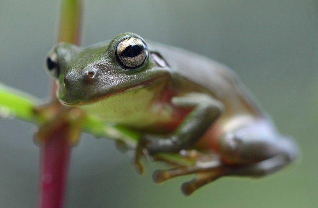 Green tree frog Litoria caerulea.